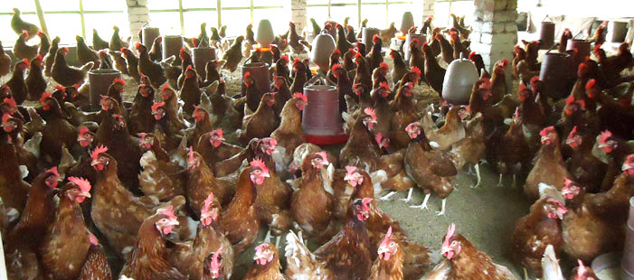 Poultry Firming Under Micro-finance Program